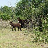 Poitou Esel