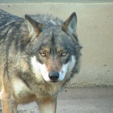 Wolf_c_H.Rudolph_ArcheWarder.jpg
