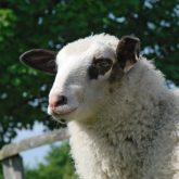 Schaflämmer abzugeben