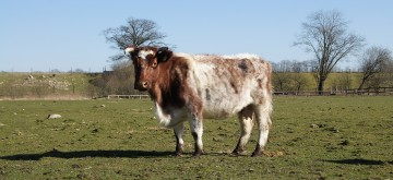 Deutsches Shorthorn