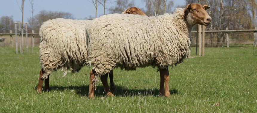 Houtland Schaf