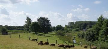 Landschaft mit Soay-Schafen