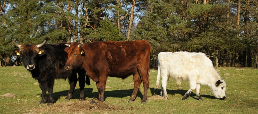 Rindergruppe