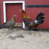 Bankivahühner