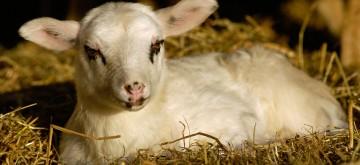 Bentheimer Schaf