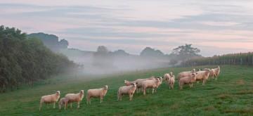 Bentheimer Schafe