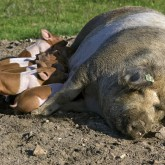 Rotbuntes Husumer Schwein