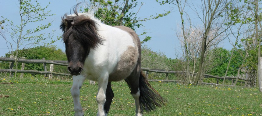 Mini-Shetlandpony