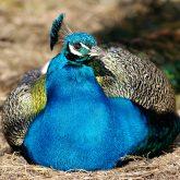 Blaue Pfauen (m)