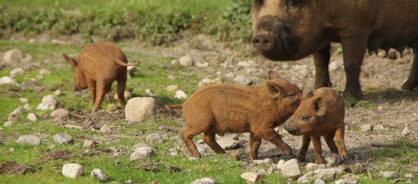 Rotes Mangalitza Wollschwein