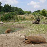 SchweineanlageMangalitza_c_LisaIwon_ArcheWarder