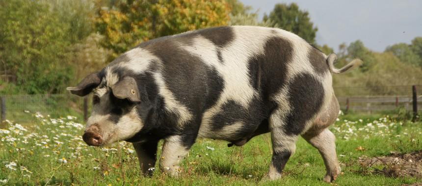 Sortbroget Schwein