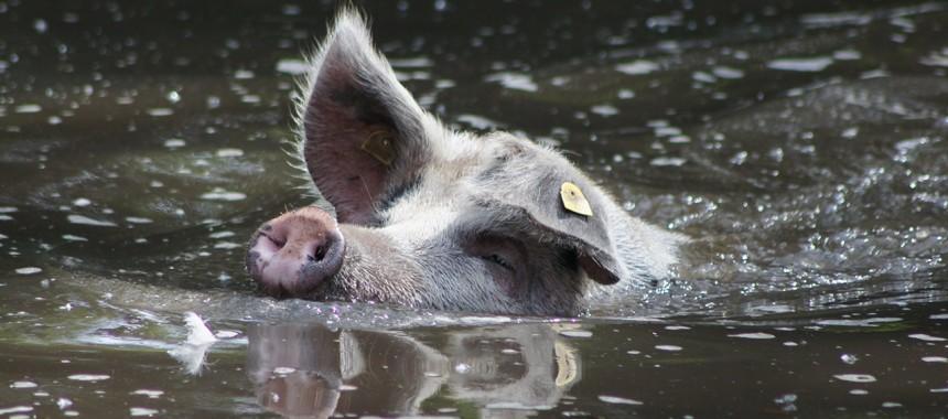 Turoplje Schwein