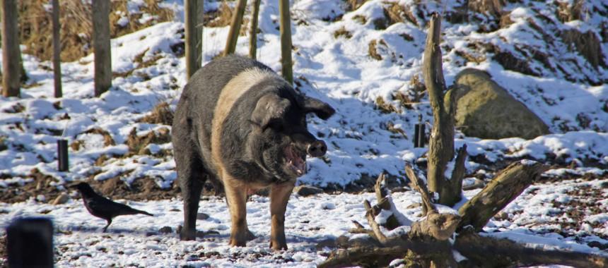 Schwein Winter