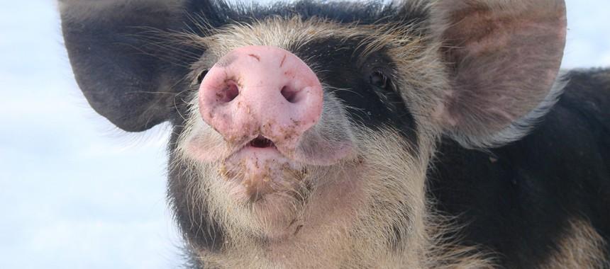 Schwedisches Linderöd Schwein