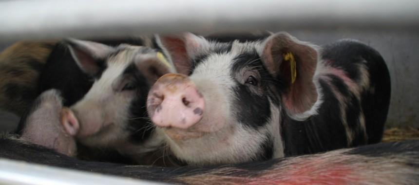Bei einem der Zwischenstops auf der Rückreise: alle Schweine sind munter und neugierig.