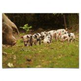 postkarte_Bentheimer-Schweine
