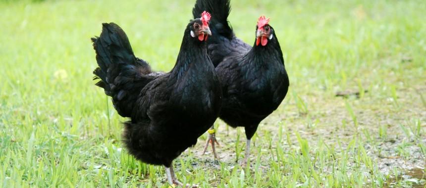 Augsburger Hühner_Wackershofen_Milerski_1k
